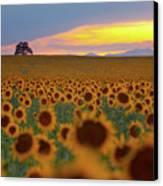 Sunflower Field Canvas Print by Lightvision, LLC