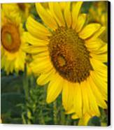 Sunflower Series Canvas Print