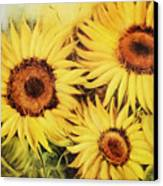 Sunflowers Canvas Print by Fatima Stamato
