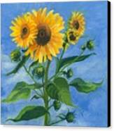 Sunflowers On Bauer Farm Canvas Print