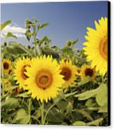 Sunflowers On North Shore Canvas Print by Vince Cavataio - Printscapes