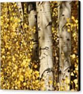 Sunlight Shines On Golden Aspen Leaves Canvas Print by Charles Kogod