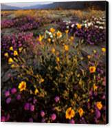 Sunrise On Desert Wildflowers Canvas Print