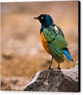 Superb Starling Canvas Print by Adam Romanowicz