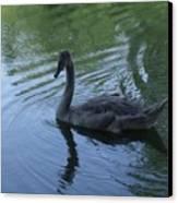 Swan Cygnet Canvas Print