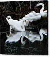 Swans And Snow Geese Canvas Print