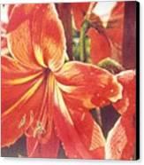 Sweet Amaryllis Canvas Print
