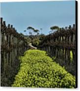Sweet Vines Canvas Print by Douglas Barnard