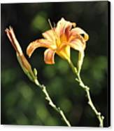 Tasmania Day Lily Canvas Print by Penny Neimiller