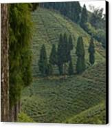 Tea Garden In Darjeeling Canvas Print