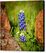 Texas Bluebonnet Canvas Print by Jon Holiday