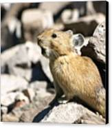 The Call Of The Pika Canvas Print