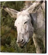 the Funny Donkey Canvas Print