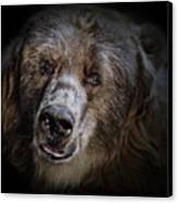 The Kodiak Bear Canvas Print by Animus Photography