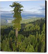 The Largest Patch Of Old Growth Redwood Canvas Print by Michael Nichols
