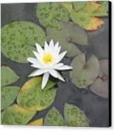 The Lone Bloom Canvas Print by Jodi Marze Kass