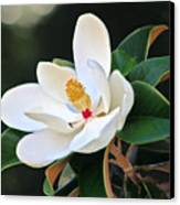 The Magnolia Canvas Print by Mamie Thornbrue