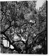 The Monastery Tree Canvas Print