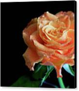 The Touch Of A Rose Canvas Print by Tracy Hall