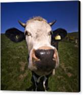 The Wideangled Cow  Canvas Print