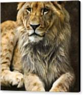 The Young Lion Canvas Print