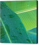Three Banana Leaves Canvas Print