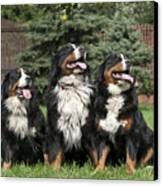 Three Bernese Mountain Dog Portrait Canvas Print