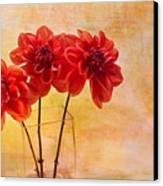 Three Orange Dahlias Canvas Print by Rebecca Cozart
