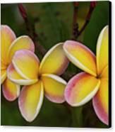 Three Pink And Yellow Plumeria Flowers - Hawaii Canvas Print