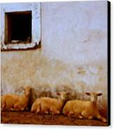 Three Wise Sheep Canvas Print