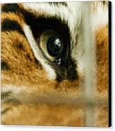 Tiger Behind Bars Canvas Print by Melody Watson