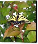 Tiger Swallowtail Butterfly Canvas Print