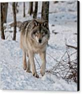 Timber Wolf In Snow Canvas Print