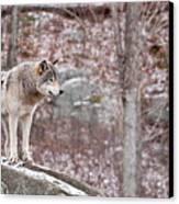 Timber Wolf On Rocks Canvas Print by Michael Cummings