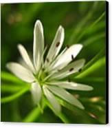 Tiny White Flower Canvas Print