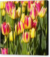 Too Many Tulips Canvas Print by Jeff Kolker