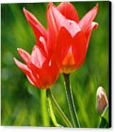 Toronto Tulip Canvas Print