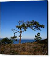 Torrey Pines Tree Canvas Print