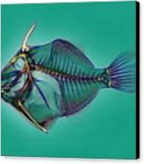 Triggerfish Skeleton, X-ray Canvas Print