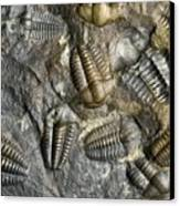Trilobite Fossils Canvas Print by Sinclair Stammers
