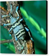 Tropical Blue Weevil Canvas Print