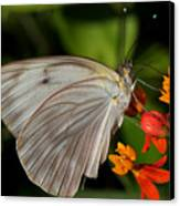 Tropical White Butterfly Canvas Print by April Wietrecki Green