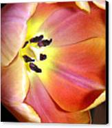 Tulip Up Close Canvas Print