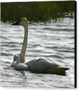 Tundra Swan And Signets Canvas Print