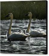 Tundra Swans Canvas Print