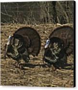 Turkeystrutin Canvas Print