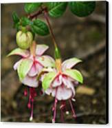 Two Fushia Blossoms Canvas Print by Douglas Barnett