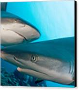 Two Gray Reef Sharks Canvas Print by Dave Fleetham - Printscapes