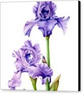 Two Purple Irises Canvas Print
