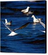 Two Terns A Fly Canvas Print